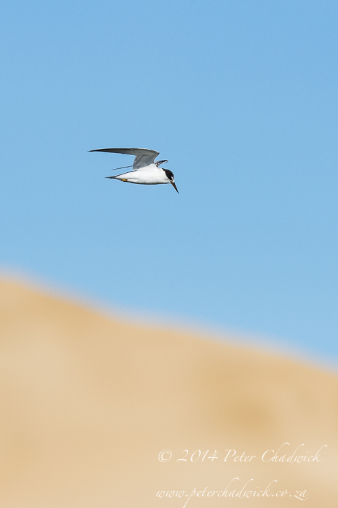 Damara Tern in flight by wildlife and conservation photographer Peter Chadwick