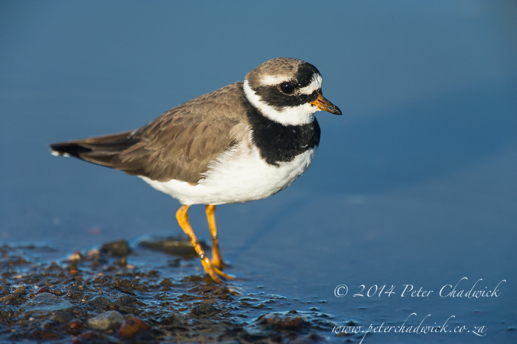 Common Ringed Plover by wildlife and conservation photographer Peter Chadwick
