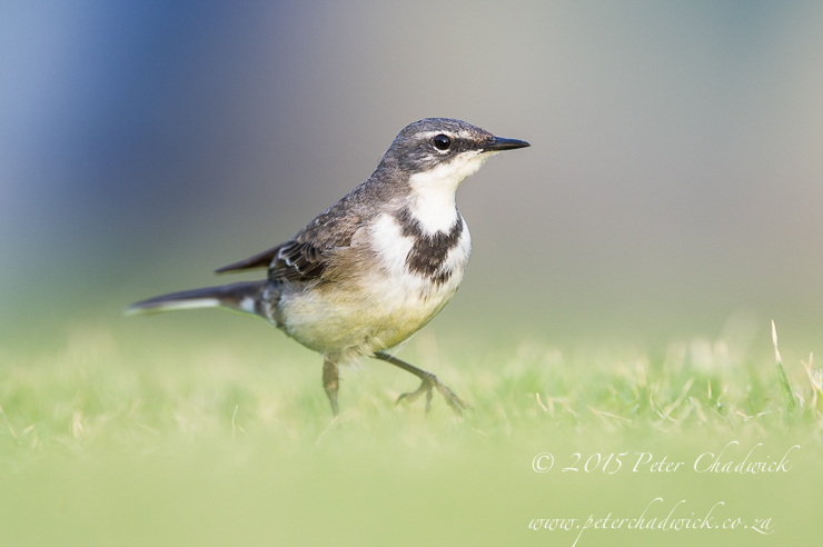 Cape Wagtail_PeterChadwick_AfricanConservationPhotographer