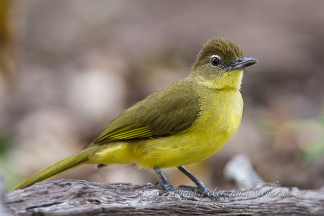 yellow-bellied greenbul by wildlife and conservation photographer Peter Chadwick