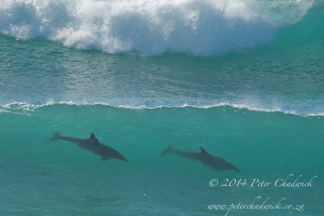 bottlenose dolphins in waves by wildlife and conservation photographer Peter Chadwick