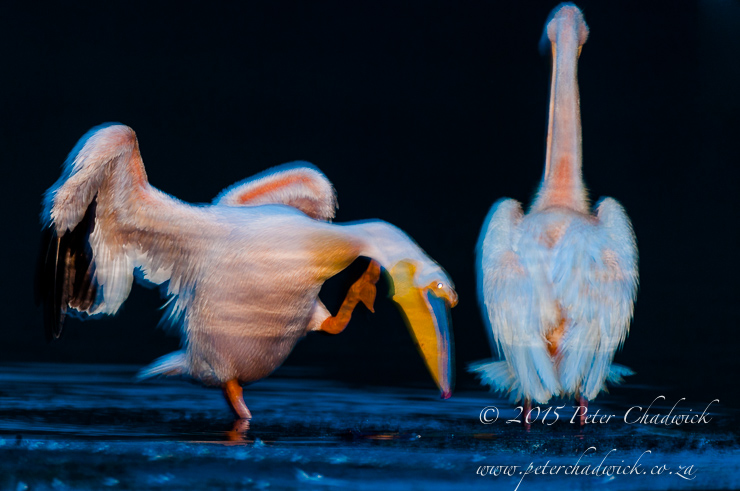 Great White Pelican_©PeterChadwick_AfricanConservationPhotographer