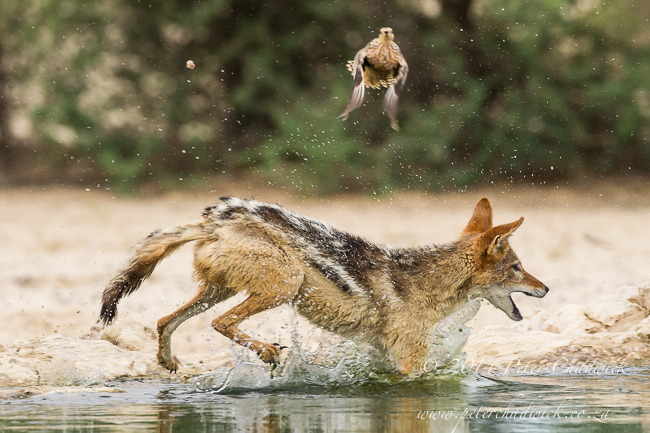 Black-Backed Jackal Hunting Sandgrouse sequence by wildlife and conservation photographer Peter Chadwick 7