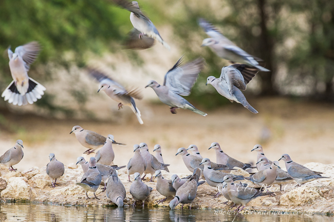 Cape Turtle doves drinking at Cubitjie Quap waterhole by wildlife and conservation photographer Peter Chadwick