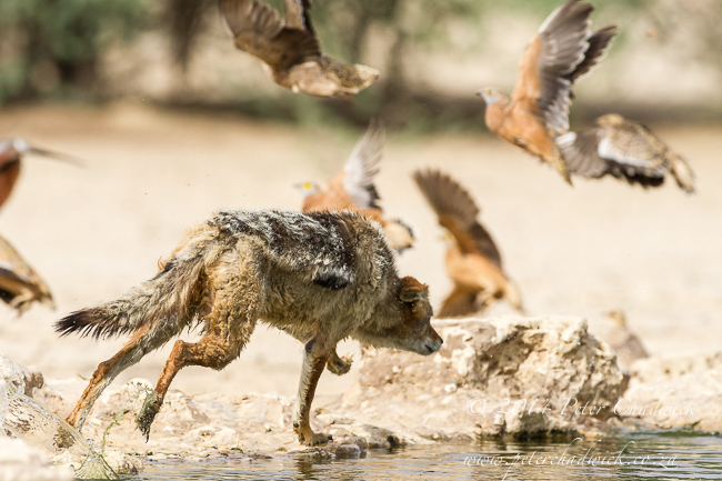 Black-Backed Jackal Hunting Sandgrouse sequence by wildlife and conservation photographer Peter Chadwick 6