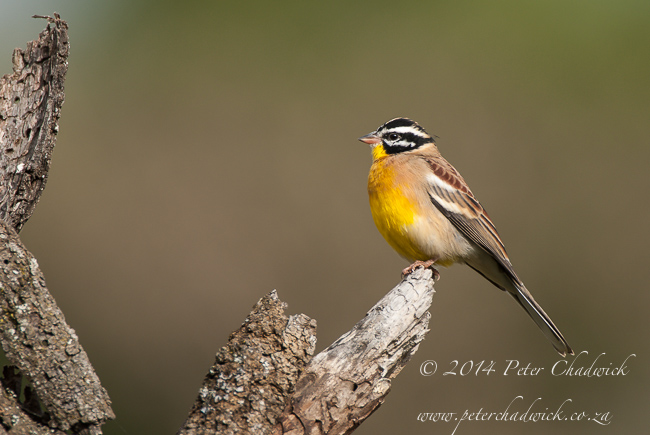golden Breasted Bunting by wildlife and conservation photographer Peter Chadwick