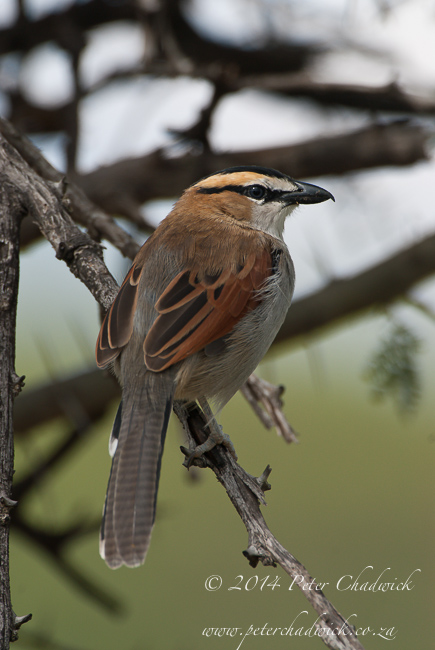 Black crowned tchagra by wildlife and conservation photographer Peter Chadwick