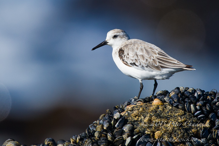 Sanderling_PeterChadwick_AfricanConservationPhotographer