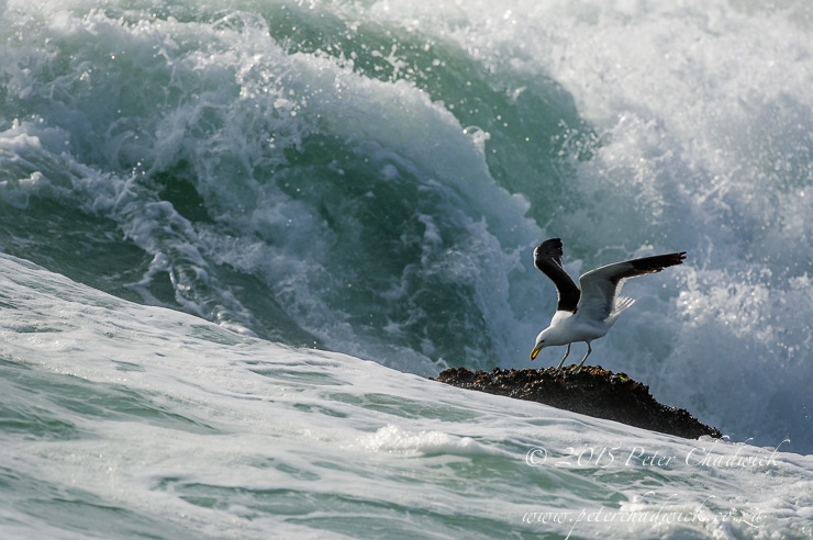 Feeding Kelp Gull_ PeterChadwick_AfricanConservationPhotographer