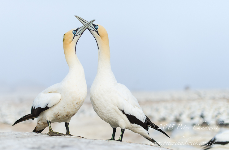 Cape Gannets_PeterChadwick_AfricanConservationPhotographer