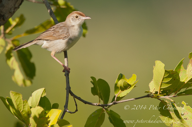 rattling Cisticola by wildlife and conservation photographer Peter Chadwick