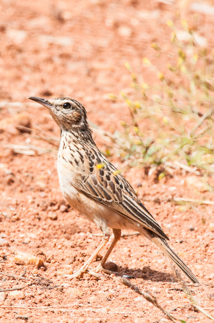 Short Clawed Lark by wildlife and conservation photographer Peter Chadwick