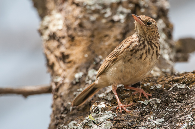 Bushveld Pipit by wildlife and conservation photographer Peter Chadwick