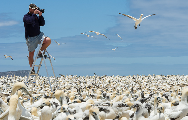 Photographing Cape Gannets by wildlife and conservation photographer Peter Chadwick