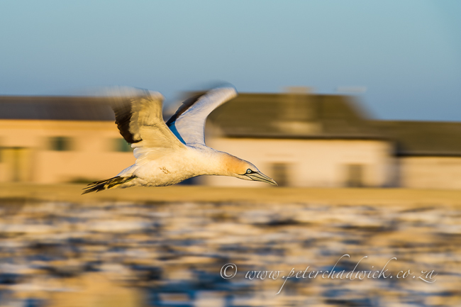 Cape Gannet flight blur by wildlife and conservation photographer Peter Chadwick