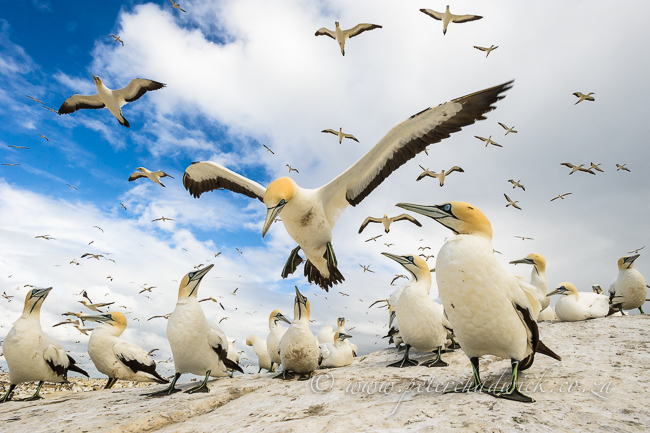 Cape Gannet coming into land by wildlife and conservation photographer Peter Chadwick