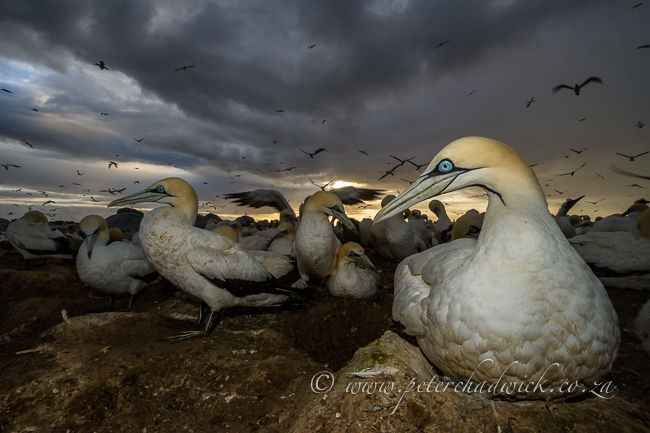 Cape Gannets and winters storm 1 Cape Gannets preening by wildlife and conservation photographer Peter Chadwick