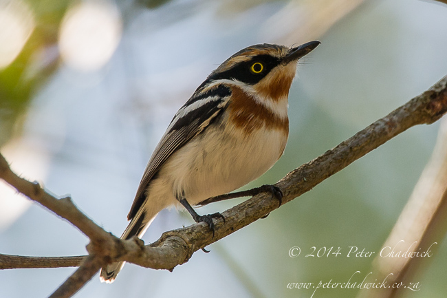 Female Pale Batis by wildlife and conservation photographer Peter Chadwick