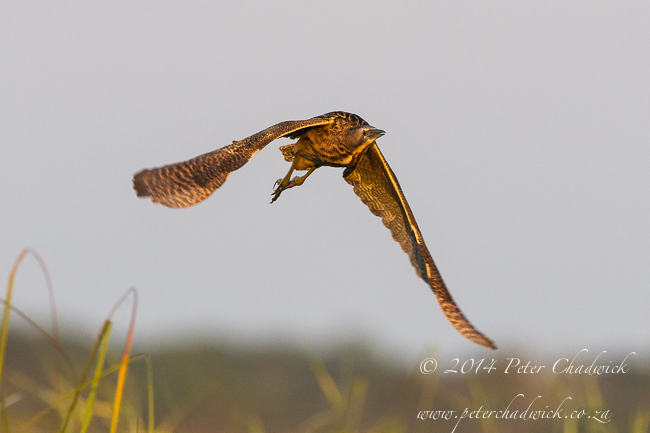 Eurasian Bittern by wildlife and conservation photographer Peter Chadwick