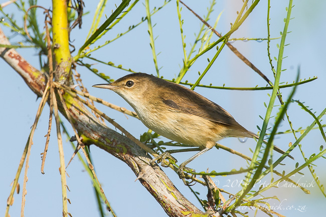 African Reed Warbler by wildlife and conservation photographer Peter Chadwick