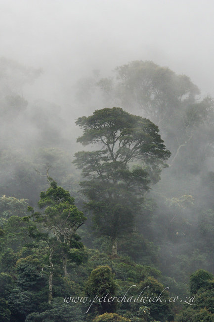 mist enshrouned forest by wildlife and conservation photrographer Peter Chadwick