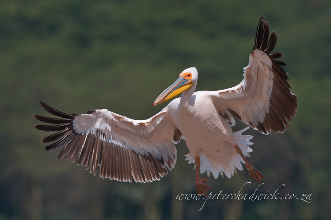 Great White Pelican landing by wildlife and conservation photrographer Peter Chadwick
