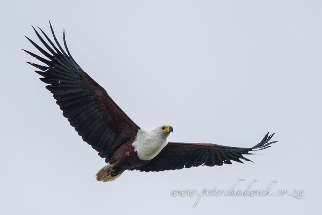 African Fish Eagle by wildlife and conservation photrographer Peter Chadwick