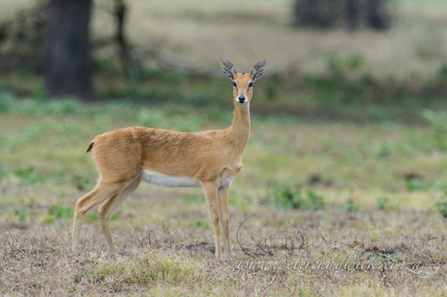 Oribi by wildlife and conservation photrographer Peter Chadwick