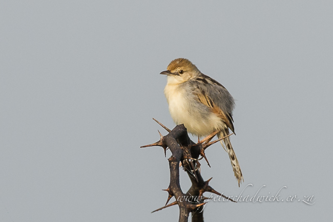 Rufous-Winged Cisticola by wildlife and conservation photographer Peter Chadwick