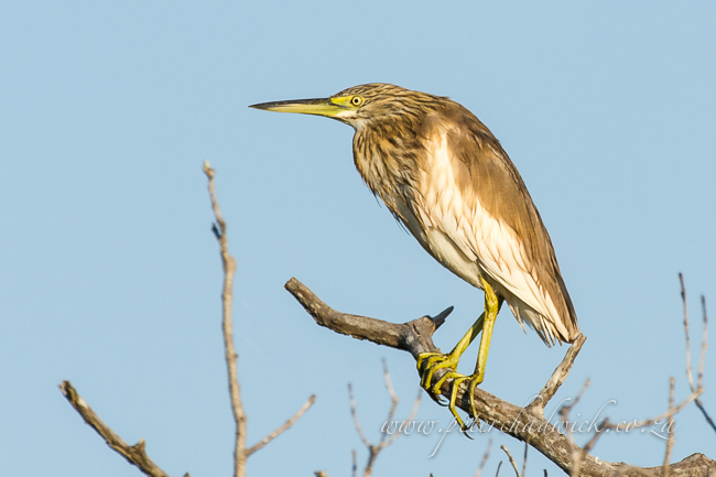 Malagasy Pond Heron by wildlife and conservation photographer Peter Chadwick