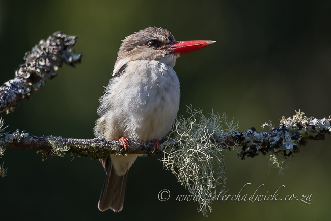 brown hooded kingfisher by wildlife and conservation photographer Peter Cadwick