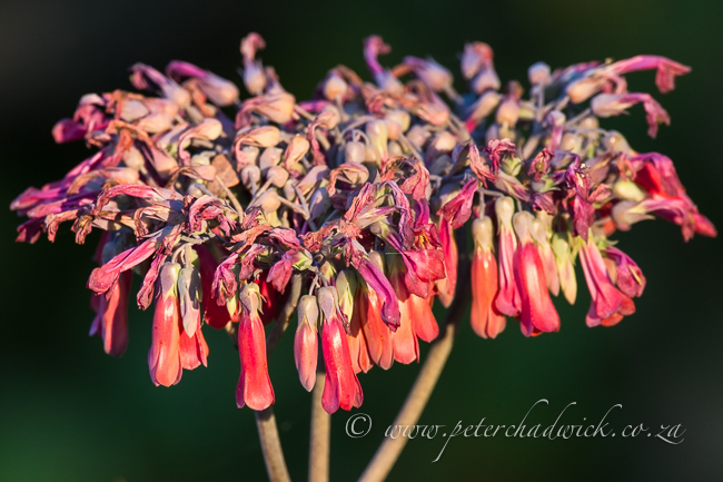 Succulent flowers by wildlife and conservation photographer Peter Cadwick