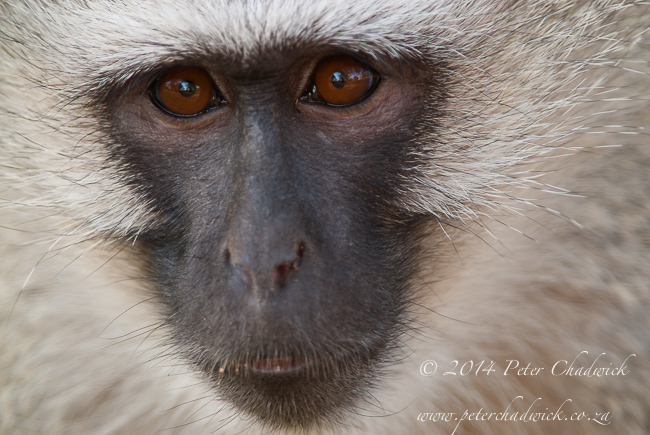 Vervet monkey portrait by wildlife and conservation photographer Peter Chadwick