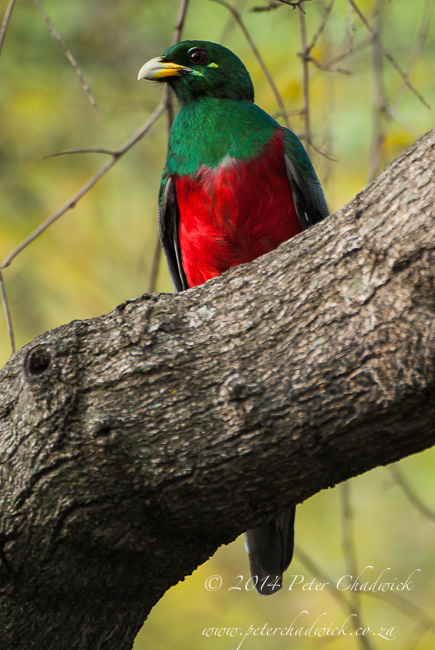 narina trogon by wildlife and conservation photographer Peter Chadwick