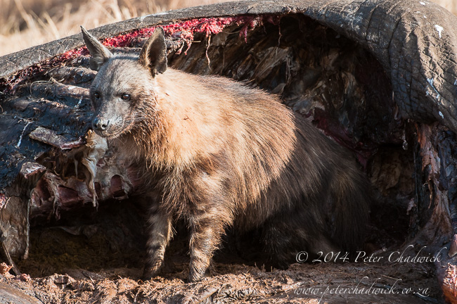 Brown Hyena at elephant carcass by wildlife and conservation photographer Peter Chadwick