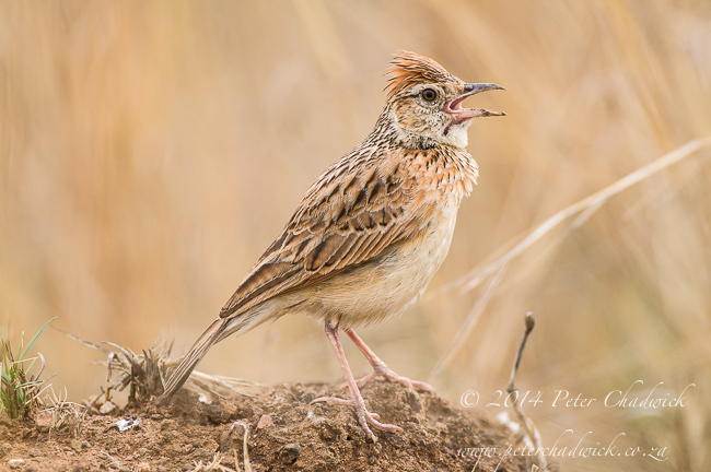 rufous naped lark adult singing by wildlife and conservation photographer Peter Chadwick
