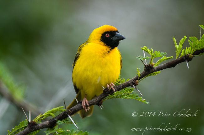 southern masked weaver male in acacia by wildlife and conservation photographer Peter Chadwick