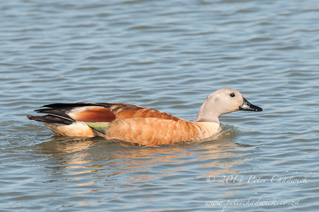South African Shelduck by wildlife and conservation photographer