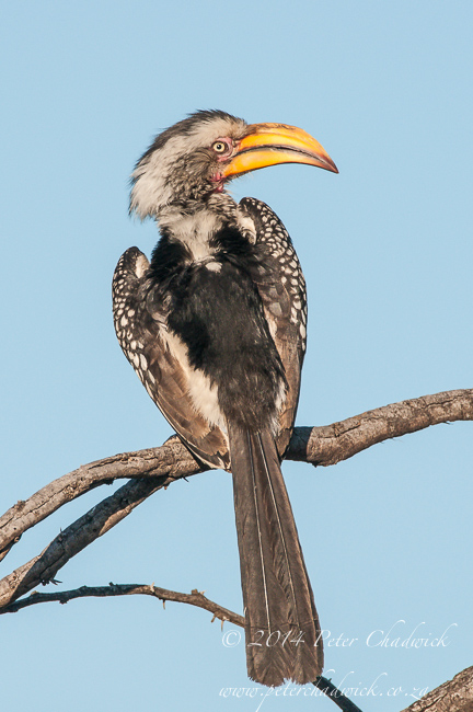 Southern Yellow Billed Hornbill  by wildlife and conservation photographer Peter Chadwick