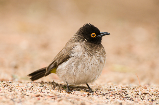 Red-Eyed Bulbul by wildlife and conservation photographer Peter Chadwick