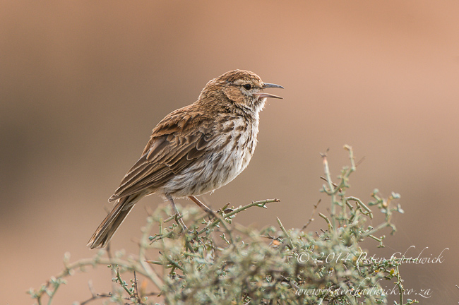 karoo lark by wildlife and conservation photographer Peter Chadwick