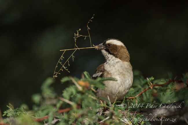 White-Browed Sparrow Weaver with nesting material by wildlife and conservation photographer Peter Chadwick
