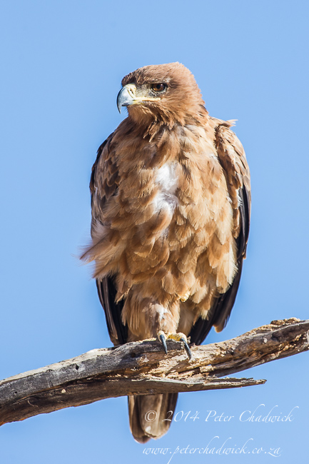 Tawny Eagle by wildlife and conservation photographer Peter Chadwick
