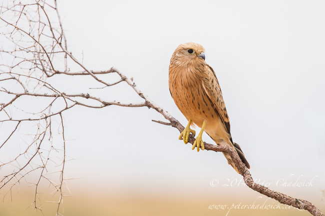 Greater Kestrel by wildlife and conservation photographer Peter Chadwick