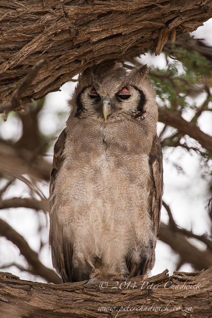 Verreauxs Eagle Owl by wildlife and conservation photographer Peter Chadwick