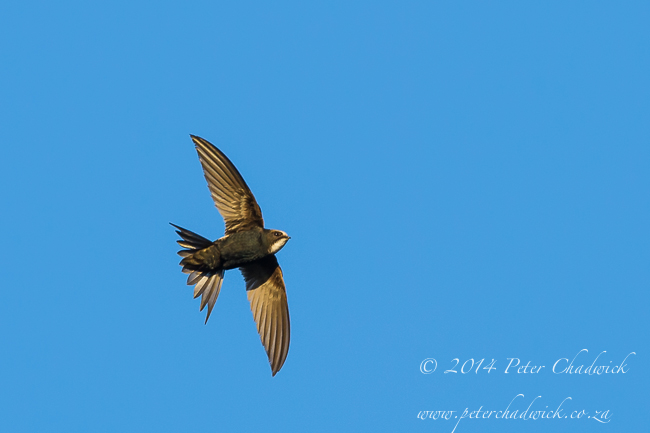 Little Swift by wildlife and conservation photographer Peter Chadwick