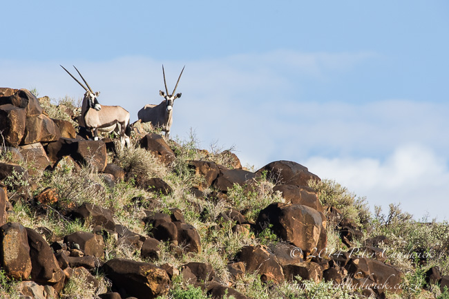 Gemsbok on rocky hillside by wildlife and conservation photographer Peter Chadwick
