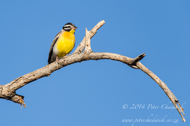 Golden-Breasted Bunting by wildlife and conservation photographer Peter Chadwick