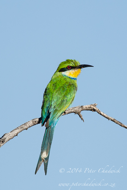 Swallow-Tailed Bee-eater by wildlife and conservation photographer Peter Chadwick