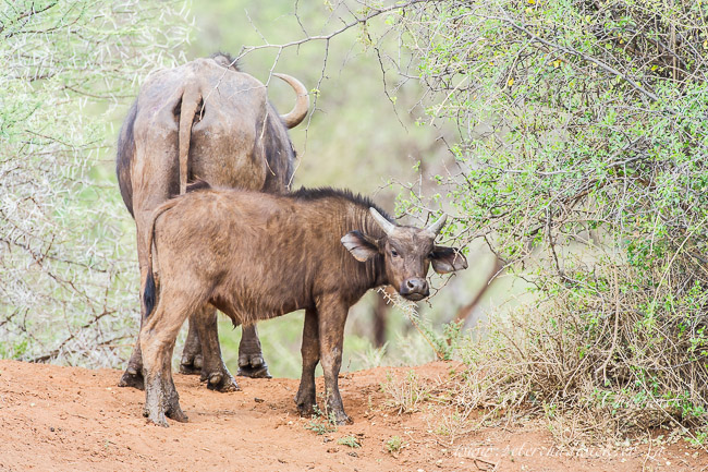 Cape Buffalo calf by wildlife and conservation photographer Peter Chadwick